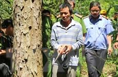 Phát hiện kịp thời, cứu được hàng trăm cây thông bị hạ độc