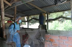 Dịch tả lợn châu Phi tại tỉnh Trà Vinh diễn biến phức tạp