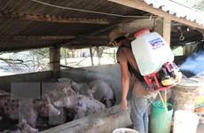Tỉnh Ninh Thuận họp khẩn chống dịch tả lợn châu Phi