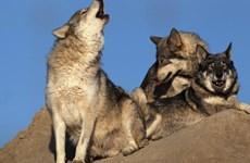 Dư luận Mỹ phản ứng mạnh trước sửa luật bảo vệ các loài vật nguy cấp