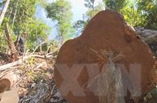 Phát hiện thêm 5 bãi tập kết gỗ lậu quy mô lớn tại Đắk Lắk