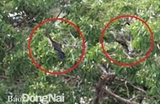 Phát hiện đàn chim cổ rắn quý hiếm tại tỉnh Đồng Nai