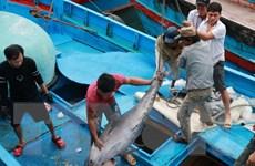 Giá cá ngừ đại dương ở mức thấp dù năng suất đánh bắt cao