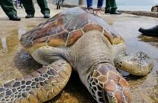 Nghệ An: Chăm sóc rùa quý hiếm nặng 30kg để thả về biển