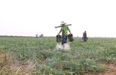 Đưa cây màu xuống chân ruộng - giải pháp thích ứng mùa khô hạn