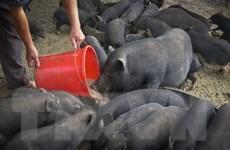 Dịch tả lợn châu Phi tái xuất hiện ở Hòa Bình, gây nhiều thiệt hại