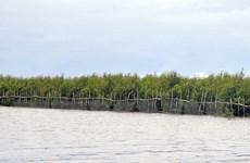 Rừng phòng hộ ven biển ở Sóc Trăng chết khô do thiếu nước