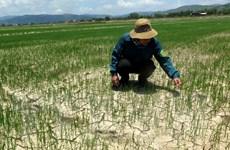 Hạn hán gay gắt, nhiều địa phương của Quảng Ngãi thiếu nước tưới tiêu