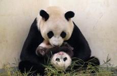 Dân Đài Loan nổi giận vì tin đồn gấu trúc bị giết thịt
