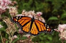 Phát hiện mới về tập quán di cư của loài bướm chúa