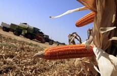 EU cho phép các nước thành viên cấm cây trồng biến đổi gene