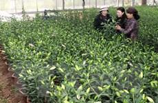 Lâm Đồng sẽ cung cấp trên 20 triệu cành hoa lyly cho Tết Ất Mùi
