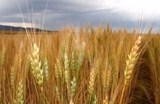 Ai Cập mua 290.000 tấn lúa mỳ của Mỹ để đảm bảo nguồn cung