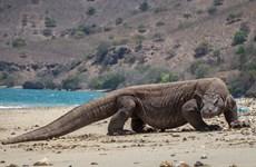 Chính phủ Indonesia hủy kế hoạch đóng cửa đảo rồng Komodo