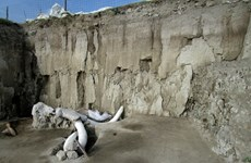 Mexico phát hiện 800 chiếc xương hóa thạch voi ma mút