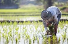 Trung Quốc giảm lượng khí thải gây hiệu ứng nhà kính từ sản xuất gạo
