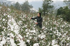 Lào Cai mở rộng diện tích rau xanh sau mưa tuyết