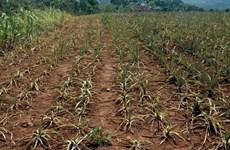 Nắng hạn gây thiệt hại cho Đắk Lắk trên 93 tỷ đồng