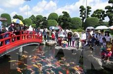 TP.HCM: Chiêm ngưỡng vẻ đẹp của 200 con cá Koi Nhật Bản