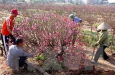 Đào Tết Ất Mùi được vụ mùa bội thu, giá không biến động nhiều