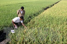 Hình thành các vùng nguyên liệu lúa Đồng bằng sông Cửu Long