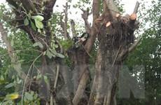 Bình Phước: Một người bị điện giật tử vong khi đang cưa cây