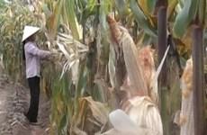 Thời tiết cực đoan gây ra ngô không hạt tại Lai Châu