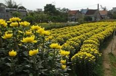 Các làng hoa sẵn sàng cung ứng cho thị trường Tết
