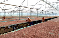 Giá cacao Bến Tre ổn định ở mức cao trước mùa thu hoạch