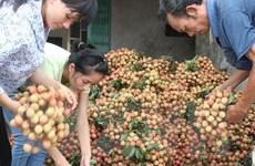 Nông dân Thanh Hà phấn khởi vì vụ vải sớm được giá