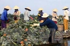 Nhiều loại trái cây miệt vườn Hậu Giang rớt giá mạnh