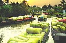 Hậu Giang: Giá lúa thương phẩm tăng cao nhất trong 3 năm