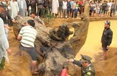 Chuyển gốc sưa nặng khoảng 2 tấn về bảo tàng Quảng Bình