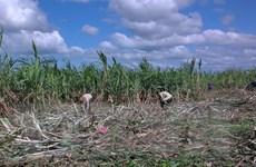 Tây Nguyên chuyển đất bỏ hoang sang trồng mía cho hiệu quả cao