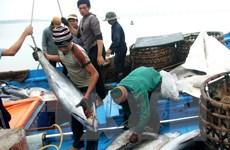 Để nghề khai thác cá ngừ đại dương phát triển bền vững tại Phú Yên