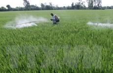 Lúa Hè Thu đầu vụ được thương lái đặt cọc mua hết sản lượng