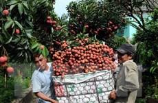 Bắc Giang sớm chủ động triển khai công tác tiêu thụ vải thiều