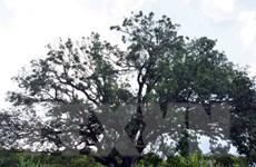 Công nhận cây xoài 300 năm tuổi ở Bạc Liêu là Cây di sản