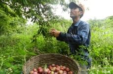 Du khách hào hứng dự ngày hội hái quả trên cao nguyên Mộc Châu