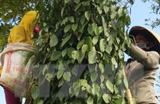 Sớm ban hành quy trình sản xuất hồ tiêu bền vững tại Việt Nam