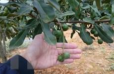 Sơn La có nhiều tiềm năng trồng và phát triển cây mắcca