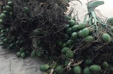 Giá cau tại Quảng Ngãi tăng cao bất ngờ nhờ xuất sang Ấn Độ