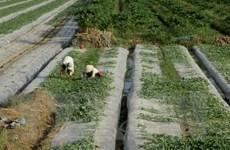 Trồng rau màu vụ Tết mang lại lợi nhuận gấp 4 lần trồng lúa