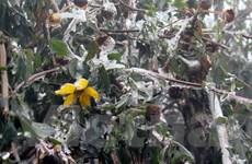 Lai Châu: Đào rừng đông cứng, hoa màu gãy đổ la liệt