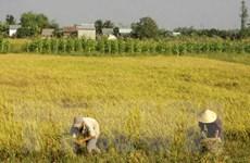 Xuất khẩu gạo của Việt Nam tiềm ẩn nhiều yếu tố khó lường