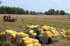 Sản lượng lúa Mùa và Đông Xuân tại Kiên Giang giảm 241.000 tấn