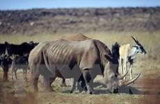 Chính phủ Nam Phi nối lại lệnh cấm buôn bán sừng tê giác