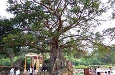 Cây đa Đá Bạc tại Thừa Thiên-Huế được công nhận là cây di sản