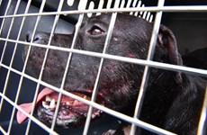 Bầy chó pit bull hung dữ tấn công, cắn đứt cánh tay chủ nhân