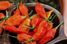 Thực quản rách toạc do ăn loại ớt ma cay nhất thế giới